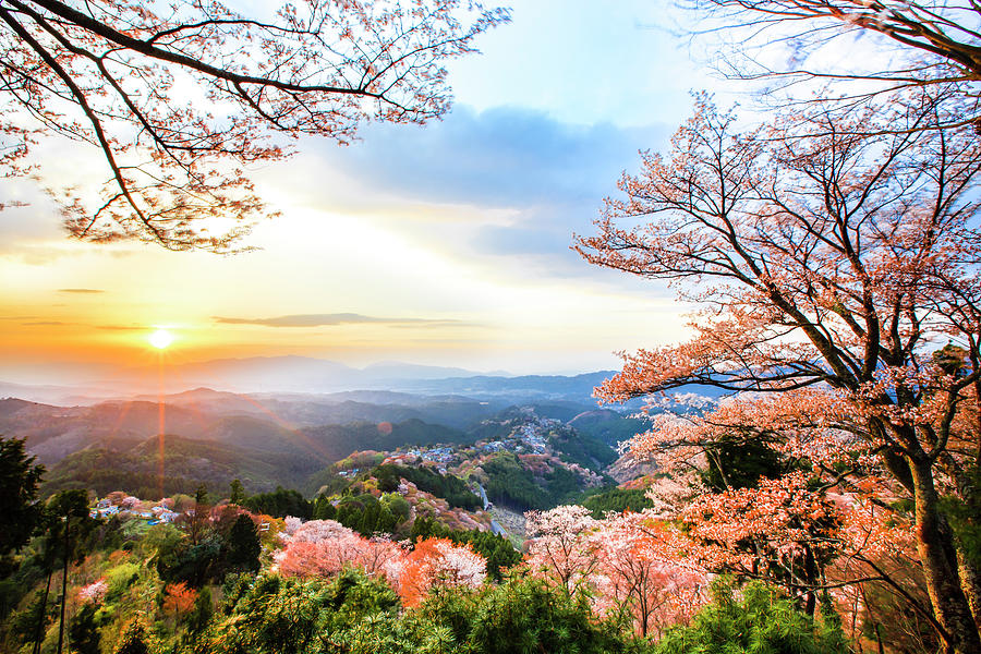 Cherry Blossoms At Mount Yoshino Photograph by Yeh, Yung-hung