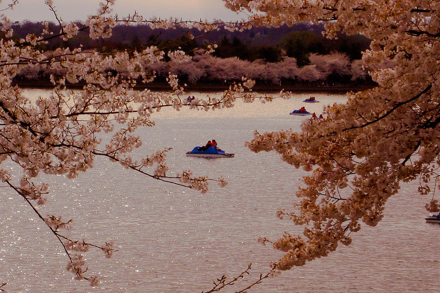Usa Photograph - Cherry Blossoms  by DustyFootPhotography