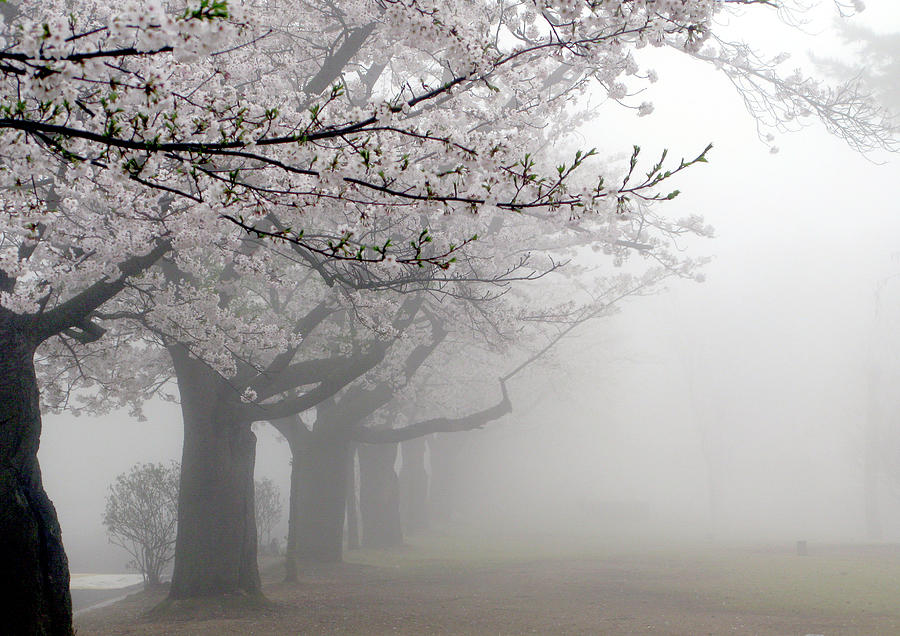 Cherry Blossoms Photograph by Floridapfe From S.korea Kim In Cherl
