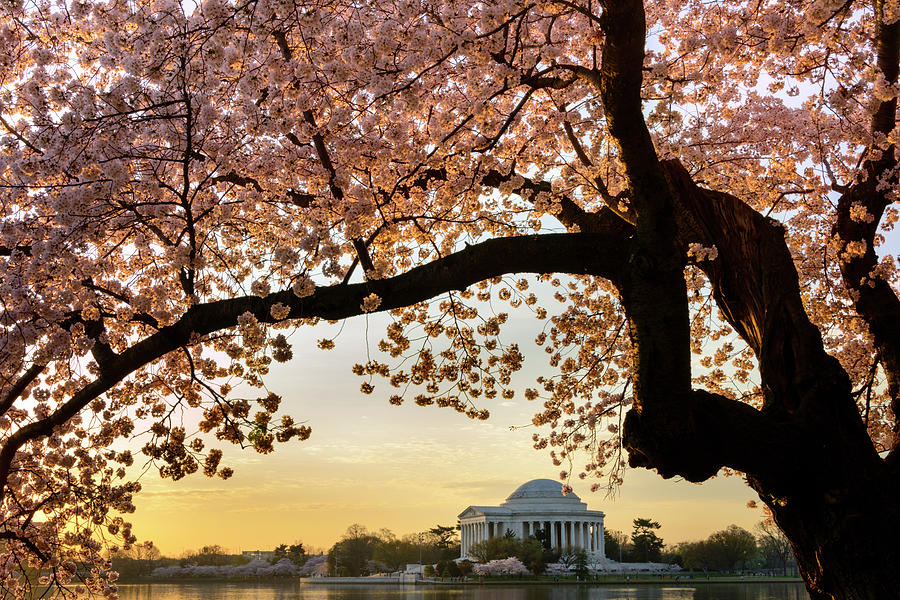 Tidal Basin Photograph - Cherry Blossoms Frame The Jefferson by Ogphoto