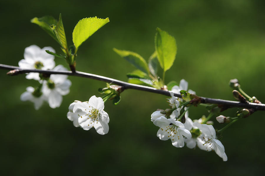 Cherry Blossoms In May Photograph