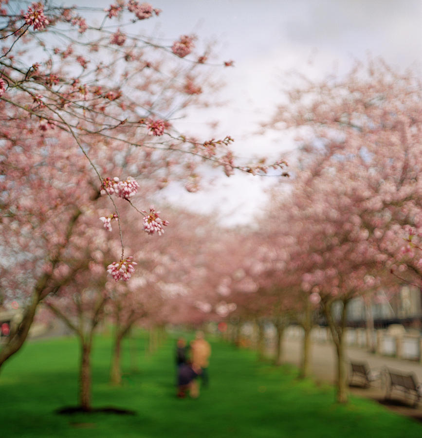 Heterosexual Couple Photograph - Cherry Blossoms In Spring by Zeb Andrews