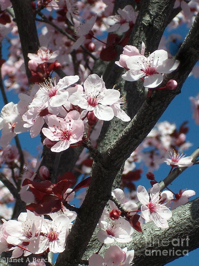Japanese Cherry Blossom Photograph - Cherry Blossoms by Janet Berch