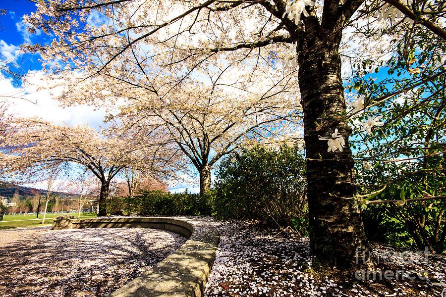 Cherry Photograph - Cherry Blossoms by Nancy Harrison