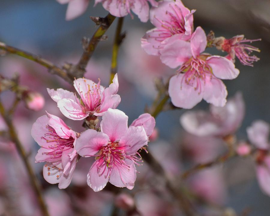 Floral Photograph - Cherry Blossoms by Old Pueblo Photography