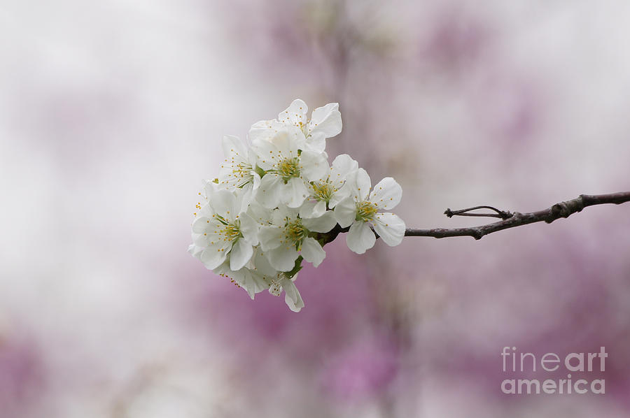 Cherry Blossoms Photograph - Cherry Blossoms - Out On A Limb by Robert E Alter Reflections of Infinity