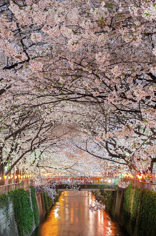 Cherry Blossoms Party Photograph by Glidei7
