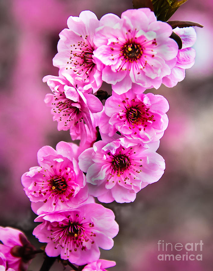 Blooms Photograph - Cherry Blossoms by Robert Bales