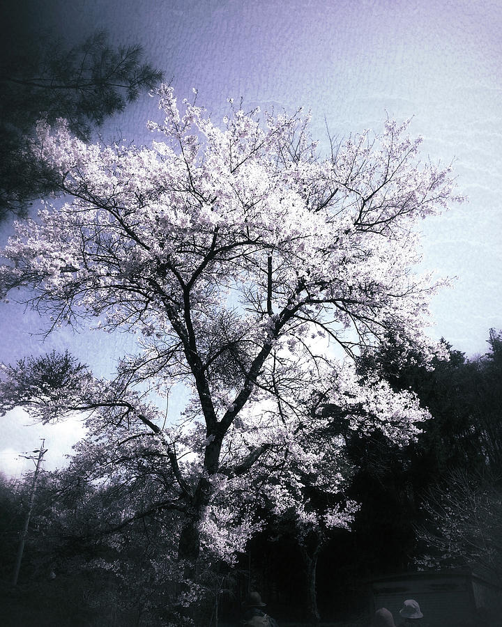 Cherry Blossoms Photograph - Cherry Blossoms Tree by Yen