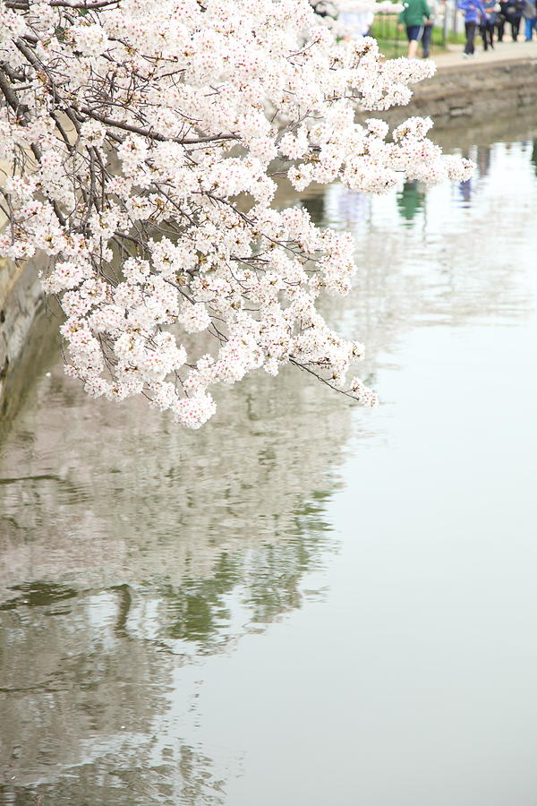America Photograph - Cherry Blossoms - Washington Dc - 0113105 by DC Photographer