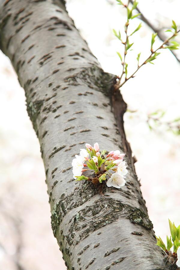 America Photograph - Cherry Blossoms - Washington Dc - 0113106 by DC Photographer