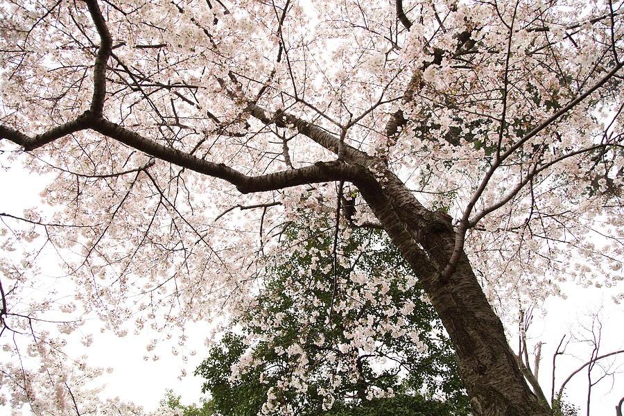 America Photograph - Cherry Blossoms - Washington Dc - 0113115 by DC Photographer