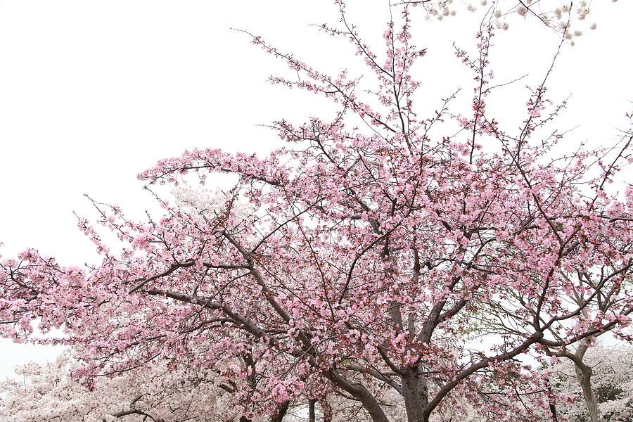 America Photograph - Cherry Blossoms - Washington Dc - 0113123 by DC Photographer