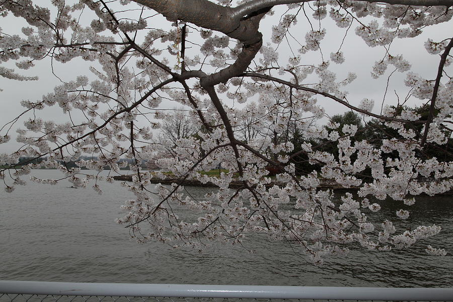 America Photograph - Cherry Blossoms - Washington Dc - 0113134 by DC Photographer