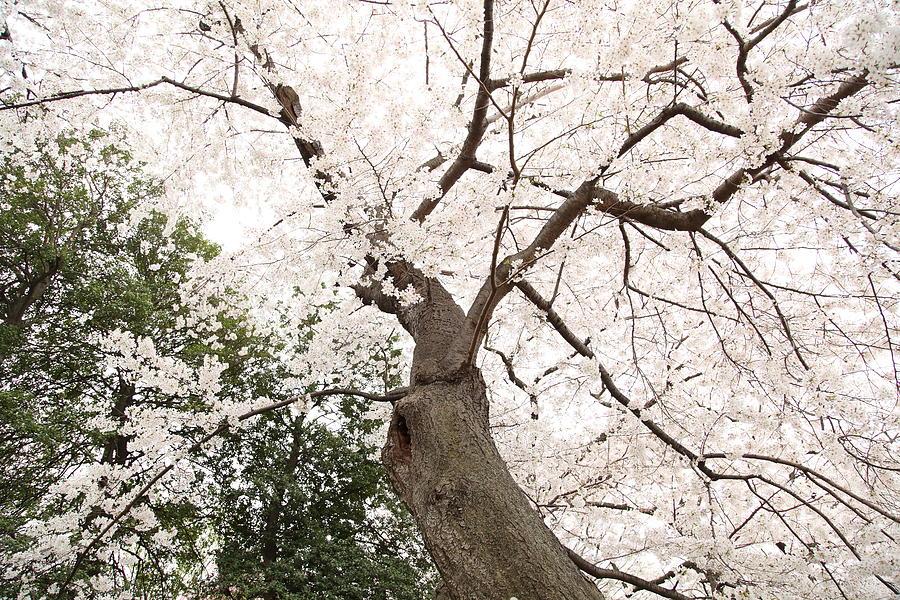 America Photograph - Cherry Blossoms - Washington Dc - 0113136 by DC Photographer