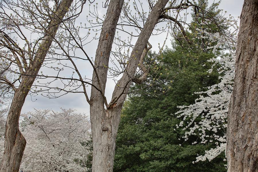 America Photograph - Cherry Blossoms - Washington Dc - 011353 by DC Photographer