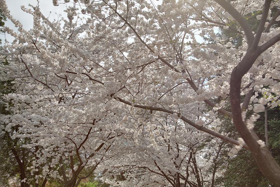 America Photograph - Cherry Blossoms - Washington Dc - 011363 by DC Photographer