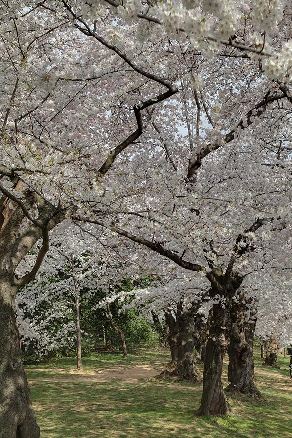 America Photograph - Cherry Blossoms - Washington Dc - 011374 by DC Photographer