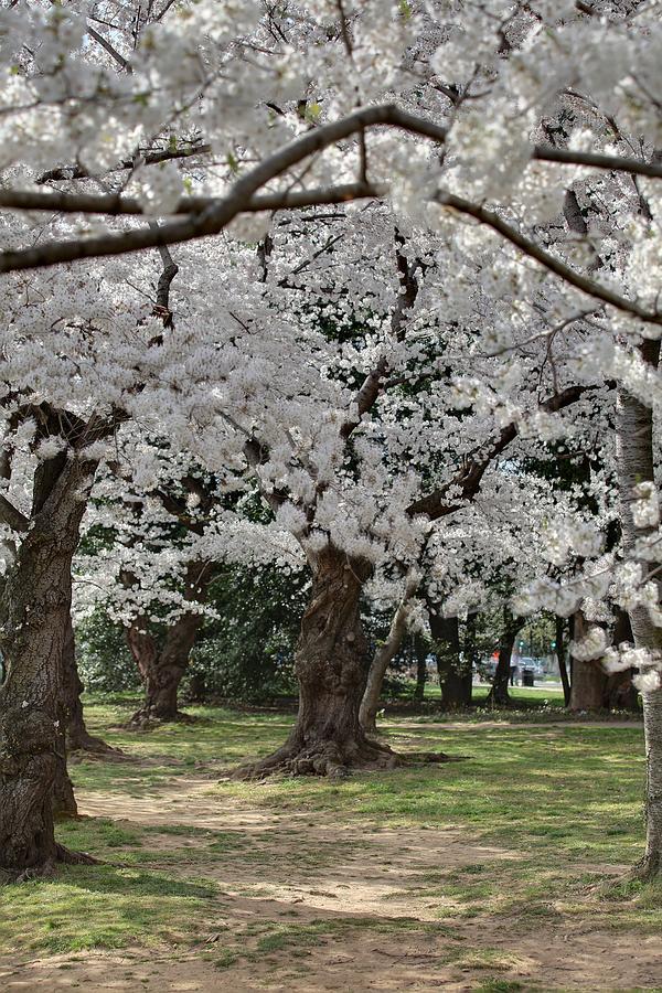 America Photograph - Cherry Blossoms - Washington Dc - 011383 by DC Photographer