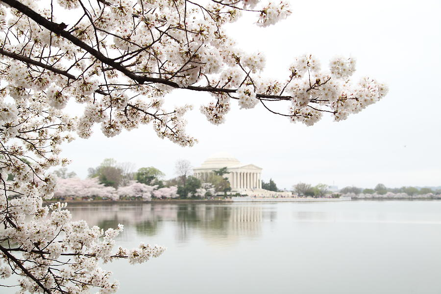America Photograph - Cherry Blossoms With Jefferson Memorial - Washington Dc - 011344 by DC Photographer
