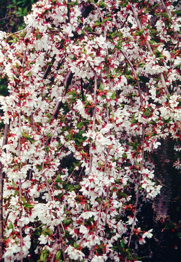 Cherry Photograph - Cherry (prunus snow Showers) by Mrs W D Monks/science Photo Library