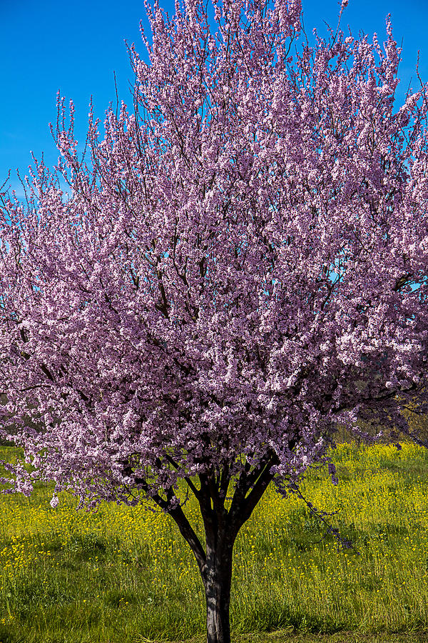 Cherry Tree In Bloom Photograph - Cherry Tree In Bloom by Garry Gay