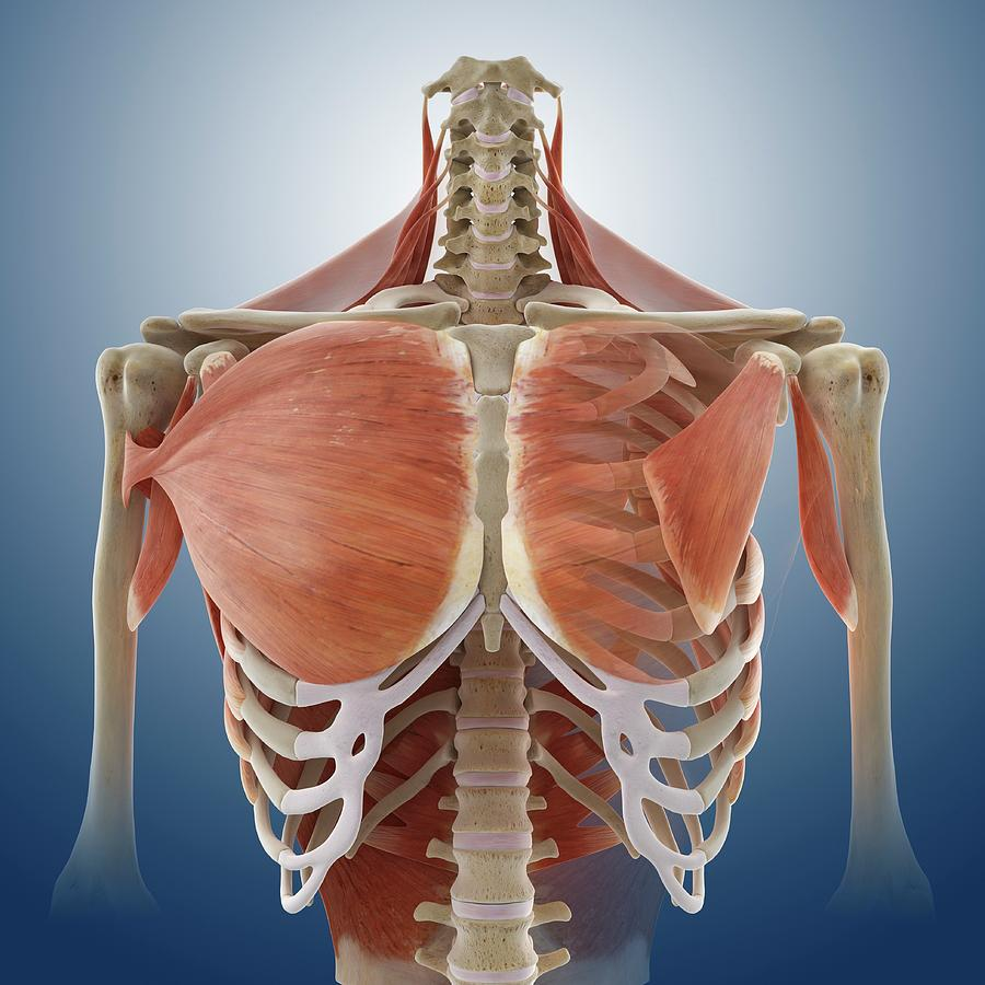 Chest Muscles Photograph By Springer Medizinscience Photo Library
