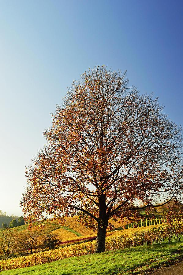 Chestnut And Vineyard Landscape Photograph by Jochen Schlenker