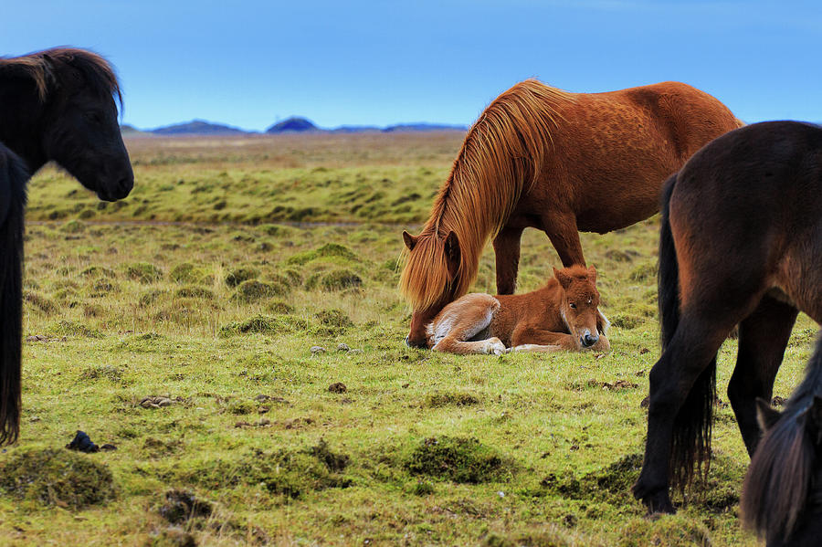 Chestnut Icelandic Horse Nuzzles Foal Photograph by Anna Gorin