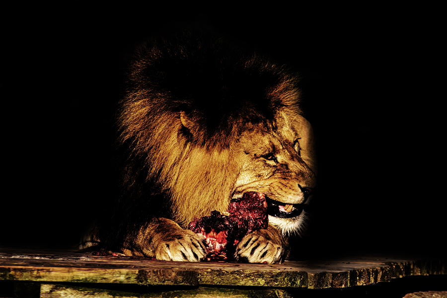 Lion Photograph - Chew On That by Martin Newman