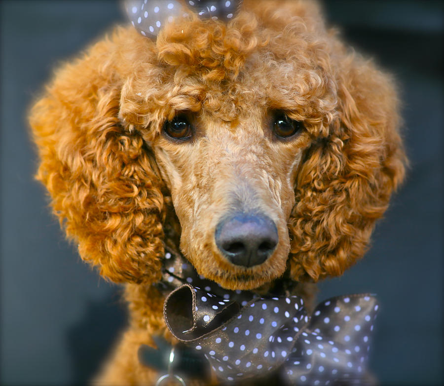 Pets Photograph - Cheyana the Big Red Poodle by Ave Guevara