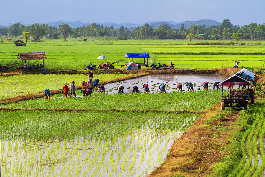 Chiang Saen_ Rice Transplanting Photograph by Jean-claude Soboul