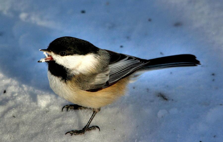 Birds Photograph - Chick-a-dee-dee-dee by Larry Trupp