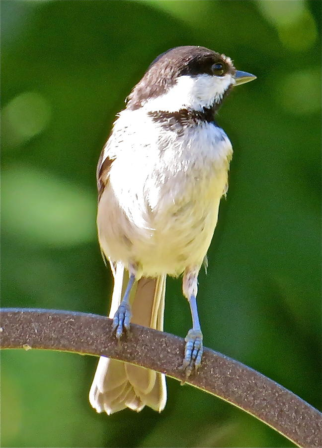 Chickadee Photograph - Chickadee 101 by Patsy Pratt