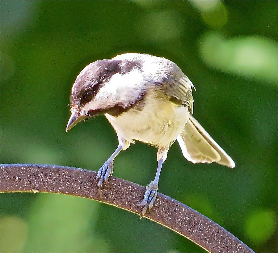 Chickadee Photograph - Chickadee 102 by Patsy Pratt