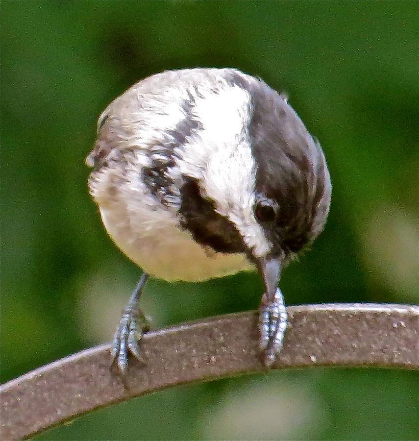 Chickadee Photograph - Chickadee 103 by Patsy Pratt