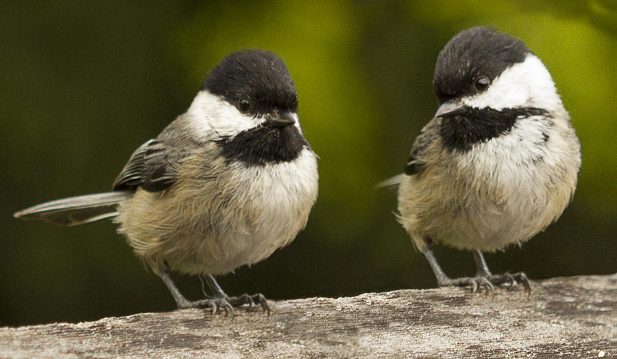 Chickadee Photograph - Chickadee Dee Dee by Jean Noren