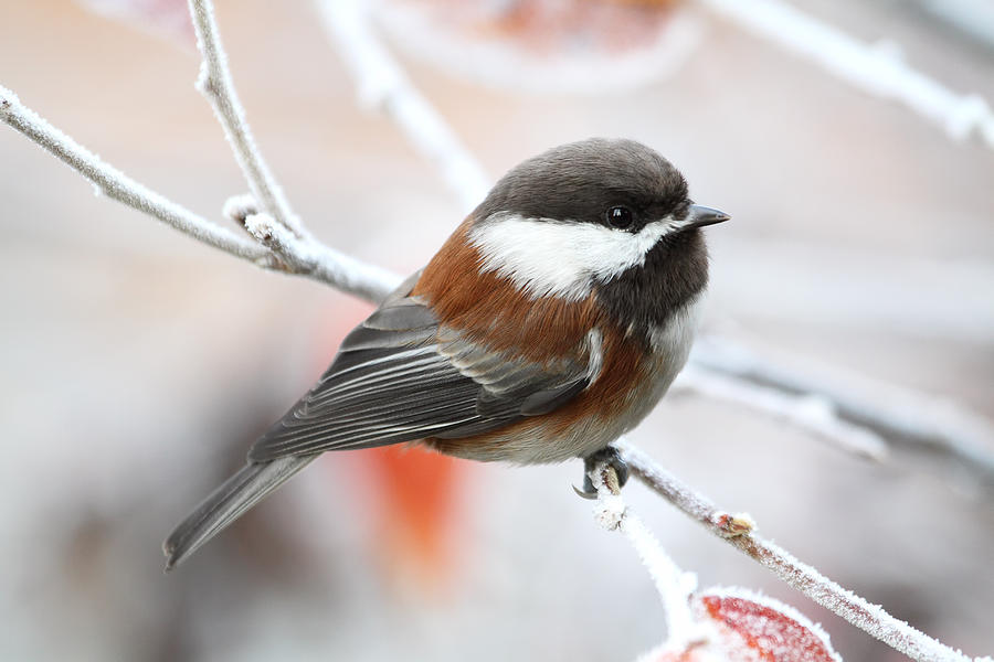 Chickadees Photograph - Chickadee in Winter by Peggy Collins