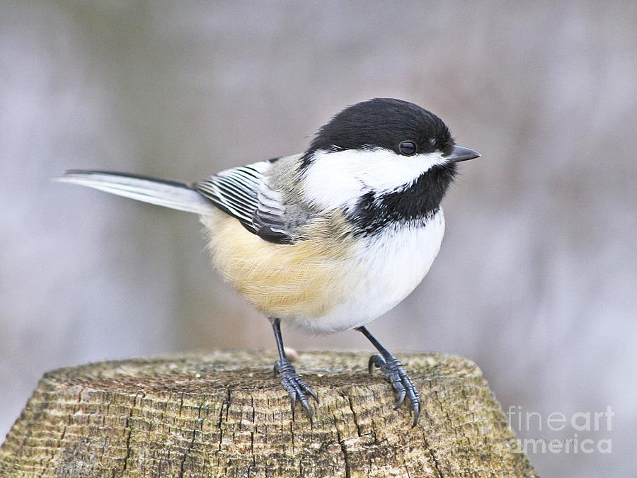 Nature Photograph - Chickadee On A Used To Be Tree by Heather King