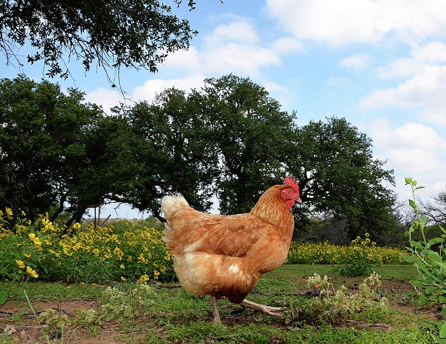 Chicken Walk Photograph by Jessica Lynn Culver