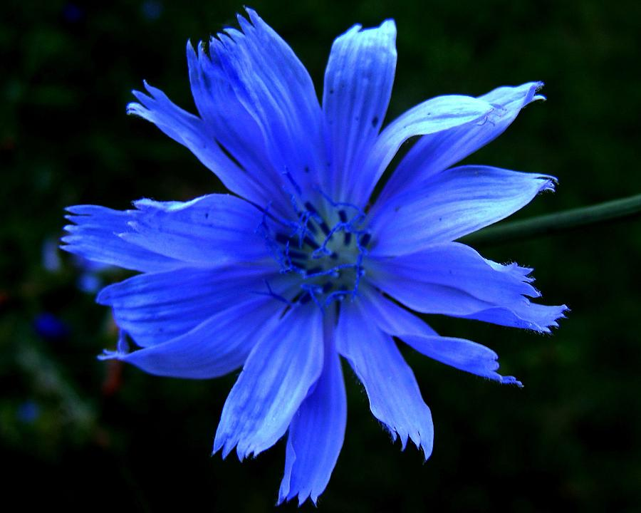 Chicory Photograph - Chicory 2 by Mark Malitz