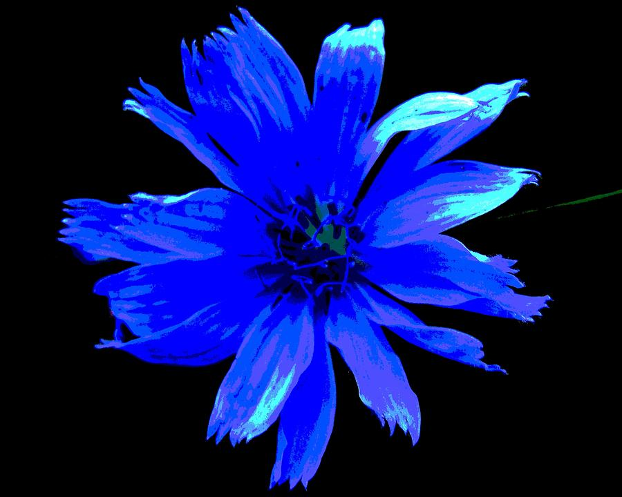Flower Photograph - Chicory 3 by Mark Malitz