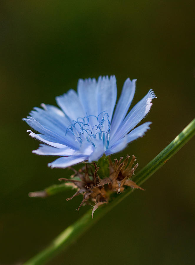 Chicory Photograph - Chicory by Lara Ellis