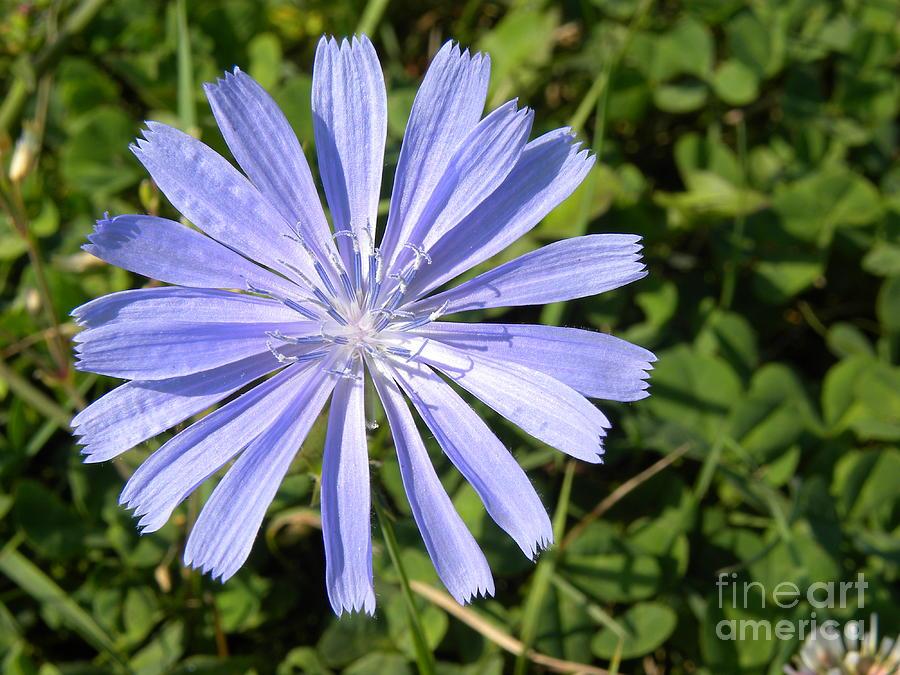 Chicory Photograph - Chicory by Laura Yamada