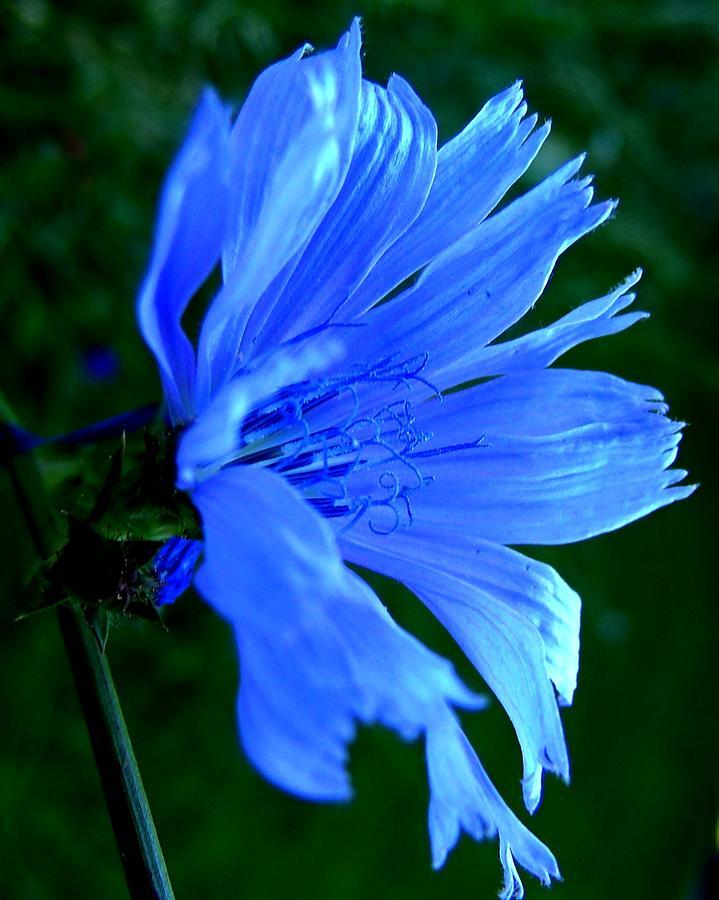Chicory Photograph - Chicory by Mark Malitz