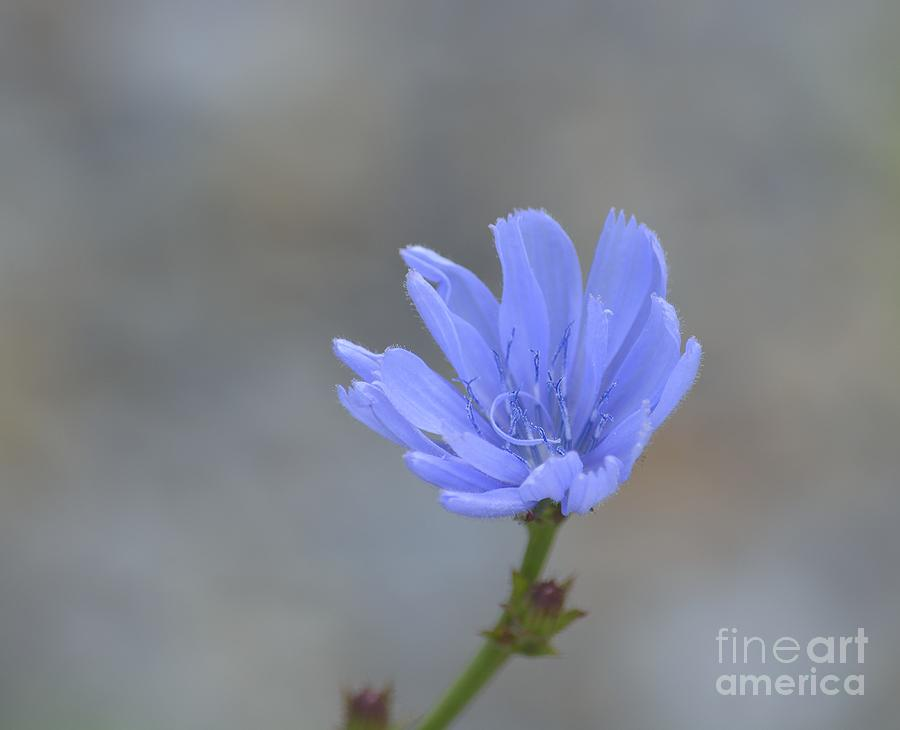 Chicory Photograph - Chicory by Randy Bodkins