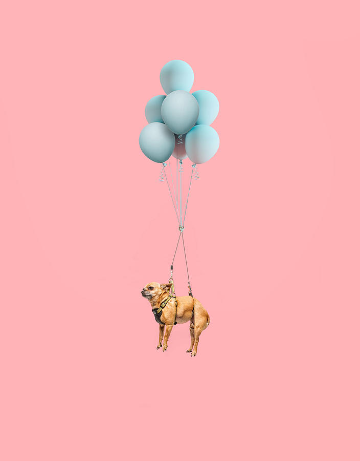 Chihuahua Dog Floating With Balloons Photograph by Ian Ross Pettigrew