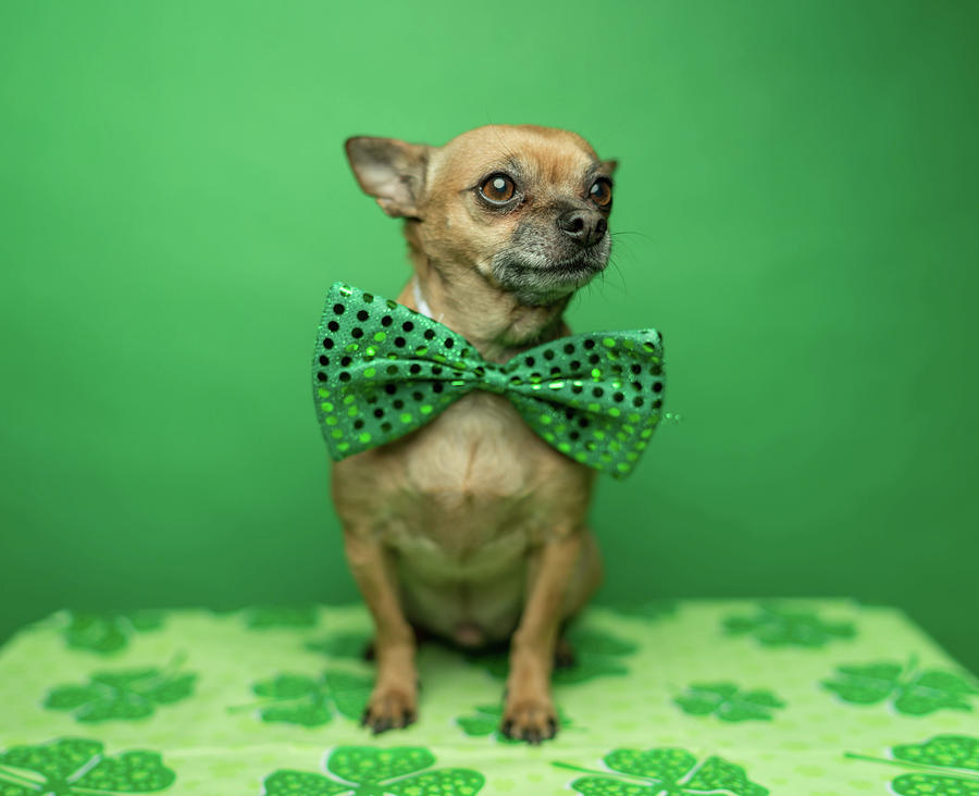 Chihuahua Wearing A Bowtie For St Photograph by Ian Ross Pettigrew