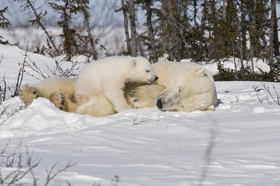Arctic Photograph - Childs love by Richard Berry