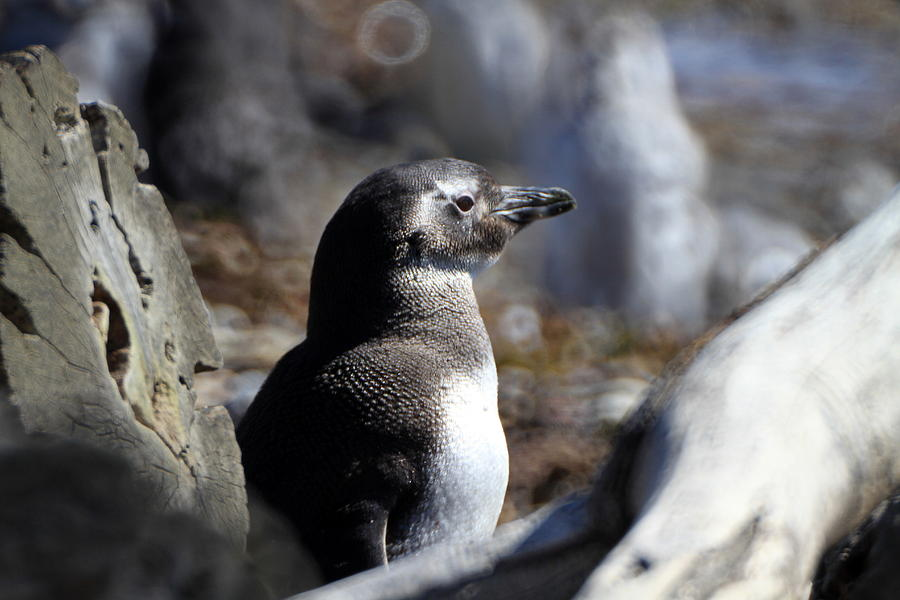 Chile Photograph - Chilean Penguin by Arie Arik Chen